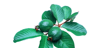 guava leaves and hair loss