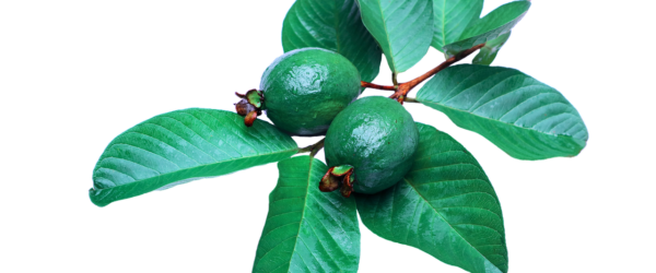 Guava Leaves Can Extremely Stop Your Hair Loss And Make It Grow Like Crazy