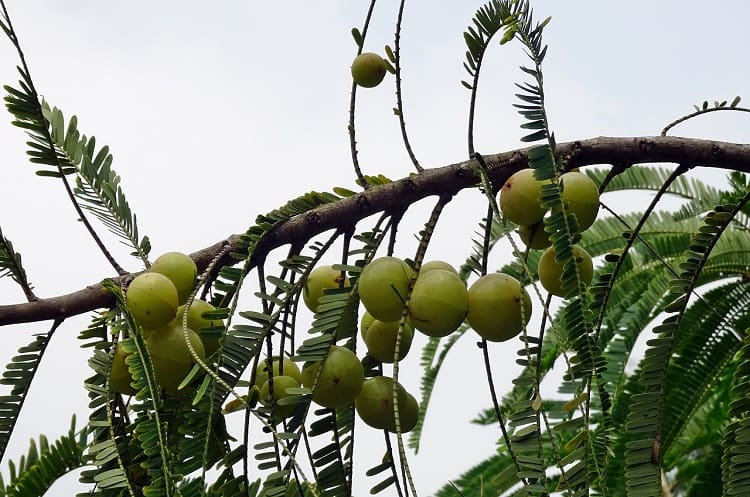 amla is an effective solution for hair loss