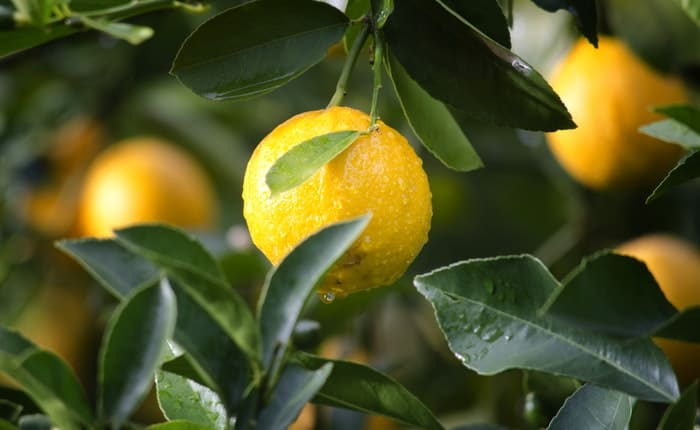 Citrus Fruits for hair loss treatment