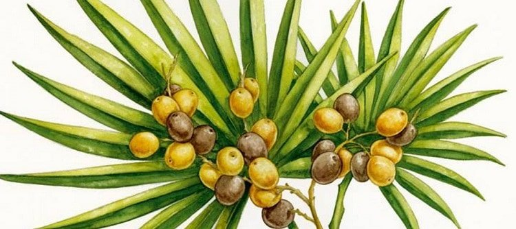 saw palmetto seeds